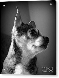 Chihuahua Acrylic Print by Michelle Wolff