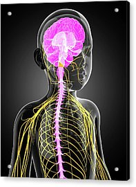 Child's Central Nervous System Acrylic Print