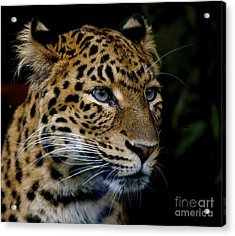 Chinese Panther Acrylic Print by Louise Fahy