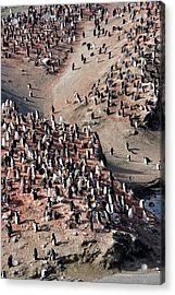 Chinstrap Penguin Colony Acrylic Print by William Ervin/science Photo Library