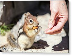Chipmunk In The Canadian Rockies Acrylic Print by Ashley Cooper