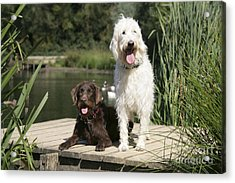 Chocolate And Cream Labradoodles Acrylic Print by John Daniels
