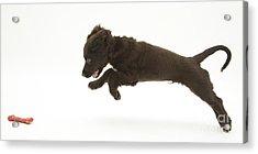 Chocolate Cocker Spaniel Puppy Acrylic Print by Mark Taylor