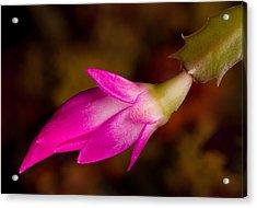 Christmas Cactus Flower  Acrylic Print by Steve Heap