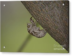 Acrylic Print featuring the photograph Cicada by Randy Bodkins