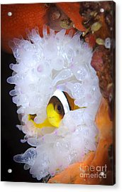 Clarks Anemonefish In White Anemone Acrylic Print by Steve Jones