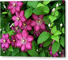 Clematis Acrylic Print by Penny Lisowski