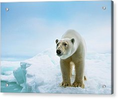 Close Up Of A Standing Polar Bear Acrylic Print by Peter J. Raymond