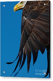 Acrylic Print featuring the photograph Close-up Of An American Bald Eagle In Flight by Nick  Biemans