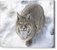 Close-up Of Bobcat Lynx Looking At Camera Acrylic Print by Sylvie Bouchard