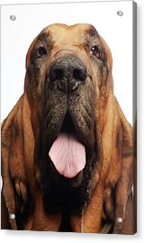 Close Up Portrait Of A Bloodhound Acrylic Print