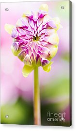 Closed Pink Baby Dahlia Flower. Spring Blossom Acrylic Print by Jorgo Photography - Wall Art Gallery