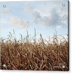 Acrylic Print featuring the photograph Closeup Of Corn Stalks  by Sandra Cunningham