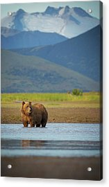 Coastal Brown Bear Acrylic Print by Chase Dekker Wild-life Images
