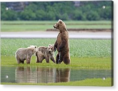 Coastal Brown Bear Sow With Her Two Acrylic Print by Kent Fredriksson