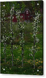 Blossoms At Cold Spring Orchard Acrylic Print by Mike Martin