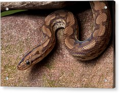 Acrylic Print featuring the photograph Colombian Rainbow Boa Epicrates Maurus by David Kenny