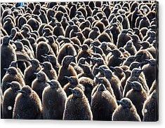 Colony Of King Penguins, Aptenodytes Acrylic Print