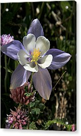 Colorado Columbine Acrylic Print