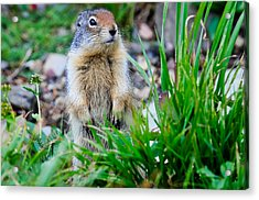 Columbian Ground Squirrel Acrylic Print