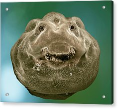 Common Frog Tadpole Head Acrylic Print by Clouds Hill Imaging Ltd/science Photo Library