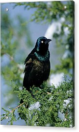 Common Grackle (quiscalus Quiscula Acrylic Print