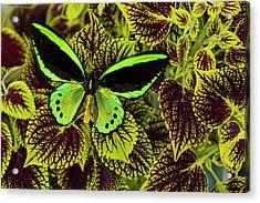 Common Green Birdwing Or The Priams Acrylic Print