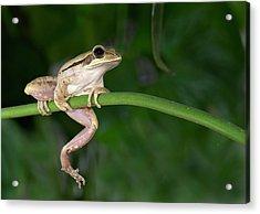 Common Indian Tree Frog Acrylic Print