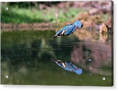 Common Kingfisher Catching A Fish Acrylic Print