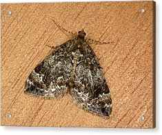 Common Marbled Carpet Moth Acrylic Print by Nigel Downer