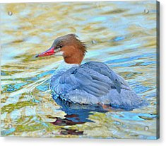 Common Merganser Acrylic Print by Kathy King