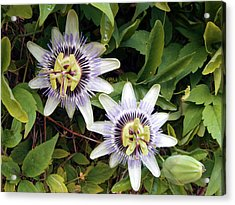 Common Passion Flower Acrylic Print by D C Robinson
