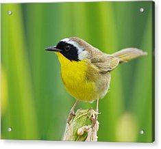 Common Yellowthroat Male Acrylic Print