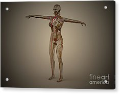 Conceptual Image Of Human Nervous Acrylic Print by Stocktrek Images