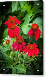 Coneflowers Echinacea Red Painted  Acrylic Print by Rich Franco