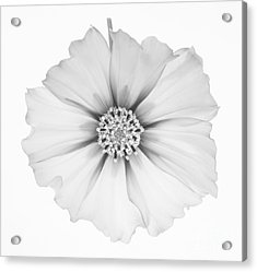 Cosmos Flower In Black And White. Acrylic Print by Rosemary Calvert