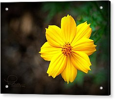 Acrylic Print featuring the photograph Cosmos Flower by Ludwig Keck