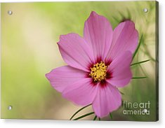 Cosmos... Acrylic Print by LHJB Photography