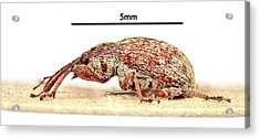 Cotton Boll Weevil Acrylic Print by Natural History Museum, London