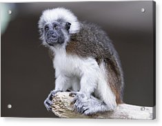 Acrylic Print featuring the photograph Cotton Top Tamarin by Shoal Hollingsworth