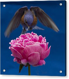 Count Bluebird Acrylic Print by Jean Noren