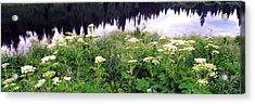 Cow Parsnip Heracleum Maximum Flowers Acrylic Print