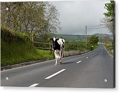 Cow Walks Along Country Road Acrylic Print