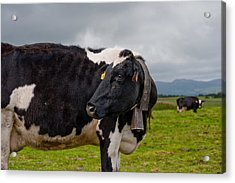 Cow Wearing Cowbell  Acrylic Print