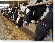 Cows Feeding Acrylic Print by Jim West