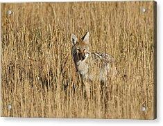 Coyote - 4387 Acrylic Print