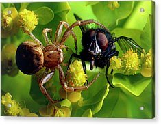 Crab Spider With Fly Acrylic Print by David Spears/science Photo Library