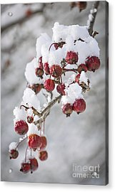 Crab Apples On Snowy Branch Acrylic Print by Elena Elisseeva