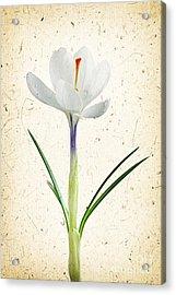 Crocus Flower Acrylic Print by Elena Elisseeva