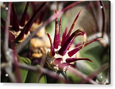 Crown Of Thorns Acrylic Print by Kelley King